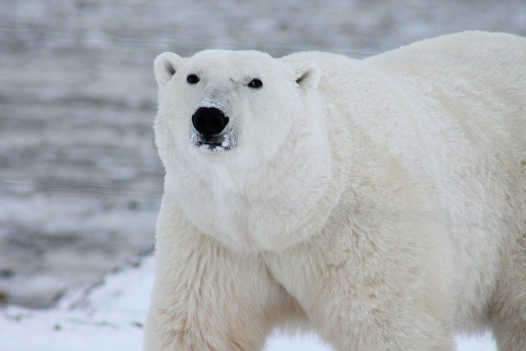 Ein schöner prachtvoller Eisbär. Quelle: Pixabay (https://pixabay.com/de/photos/eisb%C3%A4r-b%C3%A4r-seeb%C3%A4r-wei%C3%9F-wei%C3%9Fes-fell-404314/)