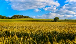 Getreidefeld vor wolkig-blauem Himmel